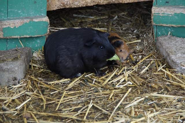 signs guinea pig is dying