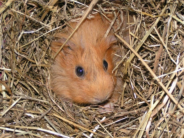 guinea pig died with eyes open