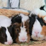 difference between male and female guinea pig