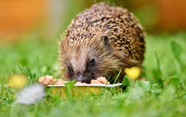 What does a baby hedgehog eat