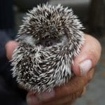 how many babies does a hedgehog have