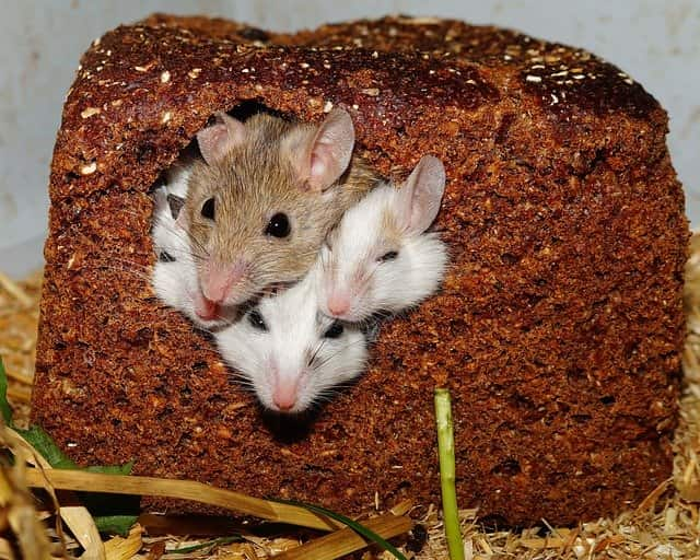 do rats and mice live together
