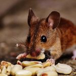 What do mice eat as a pet