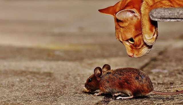 Why Do Cats Play With Mice Before Killing Them