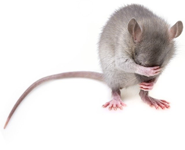 What Not To Feed Mice