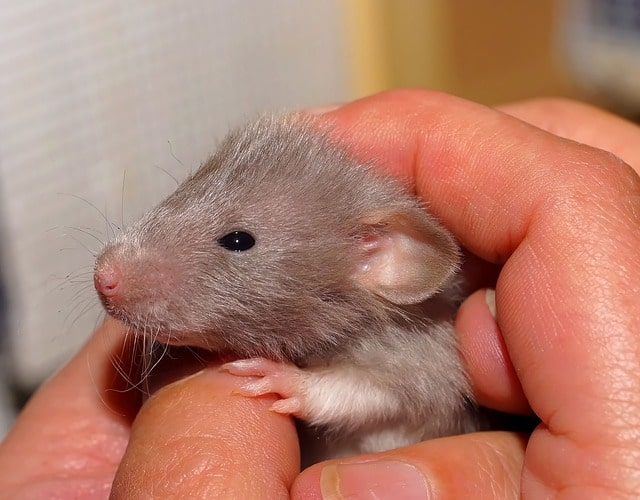 how many babies can a rat have