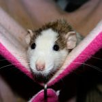 how much does it cost to neuter a rat