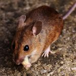 Does mice eat roaches