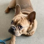 how to keep a hyper dog calm after heartworm treatment