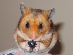 Can Hamsters Eat Blueberries? Guide on What Hamsters Can Eat