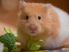 Can Hamsters Eat Broccoli? Guide on What Hamsters Can Eat