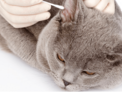 How To Clean a Cat's Ears| Proper Cat Ear Cleaning Guide