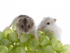 Can Hamsters Eat Grapes? Guide on What Hamsters Can Eat