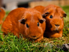What to Consider Before Getting a Guinea Pig| Guide By Ultimatepethub