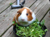 What Can Guinea Pigs Eat? Ultimate Pet Hub Guide
