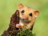 Dormouse As A Pet – Everything You Need To Know From Ultimatepethub
