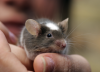 How To Take Care Of A Pet Mouse | Mouse As A Pet