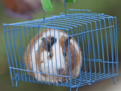 15 Best Guinea Pig Cage Reviews 2020   Best Indoor Guinea Pig Cages