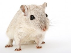 How Much Is A Pet Rat? Are Rats A Good Pet?