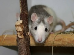 How High Can A Rat Jump? 7 Rat Jumping Facts