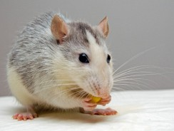 5 Best Rat Food Reviews | Rodent Pellets and Natural Seed Mixes