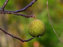 How Much Black Walnut To Give Dog – 3 Tips To Avoid Black Walnut Poisoning