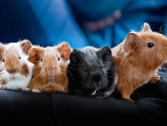 Guinea Pig Breeds And Colors | What Are The Breeds Of Guinea Pigs?