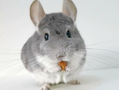 Chinchilla As a Pet | One of the Cutest Friendly Pets