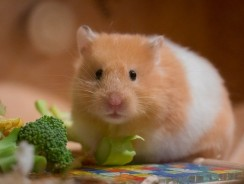 Can A Guinea Pig Eat Hamster Food? What Foods Are Toxic To Guinea Pigs?