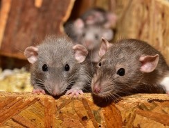 Do High Pitched Sounds Keep Mice Away? | What Noise Scares Mice Away?