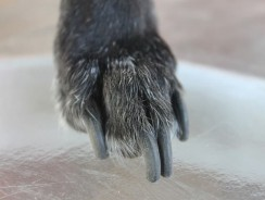 How To Restrain A Large Dog For Nail Clipping – 3 Advanced Tips For All Dog Owners