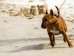 Dog Pulls On Leash Tried Everything! 3 Expert Tips To Regain Control