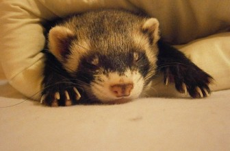 Are Ferrets Good Pets? 3 Fun Reasons To Own a Pet Ferret!