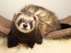 How to Take Care of Your Pet Ferret| Guide By Ultimatepethub