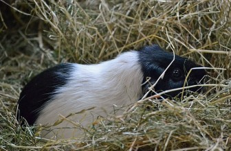 Can Guinea Pigs be Litter Trained? 5 Steps To Adopt For Instant Success