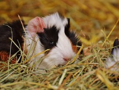 Guinea Pig Health Issues | Common Guinea Pig Health Issues