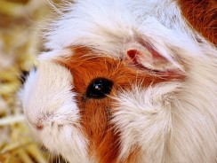 Does Guinea Pig Need Vaccination? 3 Guinea Pig Health Issues