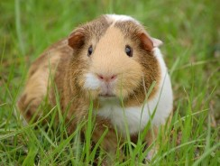 What Fruit And Veg Can A Guinea Pig Eat? 45 Guinea Pig Diet Tips