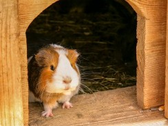 How To Train Guinea Pigs | Can You Litter Train A Guinea Pig