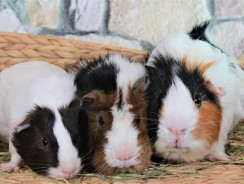 Difference Between Male And Female Guinea Pigs | Guinea Pig Gender Behavior