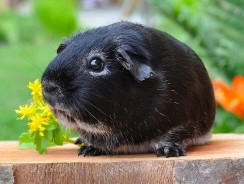 Can A Guinea Pig Live Alone? 5 Challenges Of A Lone Guinea Pig