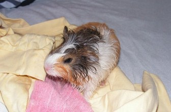 How To Bathe Your Guinea Pig – 7 Precise Steps For A Safe Wash