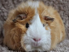 Why Is My Guinea Pig Coughing | Guinea Pig Wheezing Common Reasons
