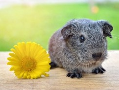 What Are Guinea Pig Babies Called? Guinea Pig Facts
