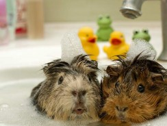 How to Bathe a Guinea Pig | Dos and Donts of This Essential Part of Cavy Care
