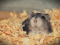 How Often To Change Hamster Bedding?