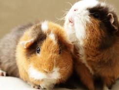 Guinea pig vs hamster | Two Low Maintenance Pets that Like To Cuddle