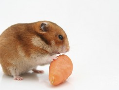 Can Hamsters Eat Carrots? Guide on what Hamsters Can Eat