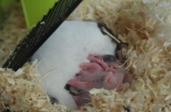 3 Signs Of Hamster Pregnancy & Baby Hamster Growing Stages Guide