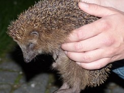 Signs My Hedgehog Is Dying   11 Signs Of A Sick Hedgehog